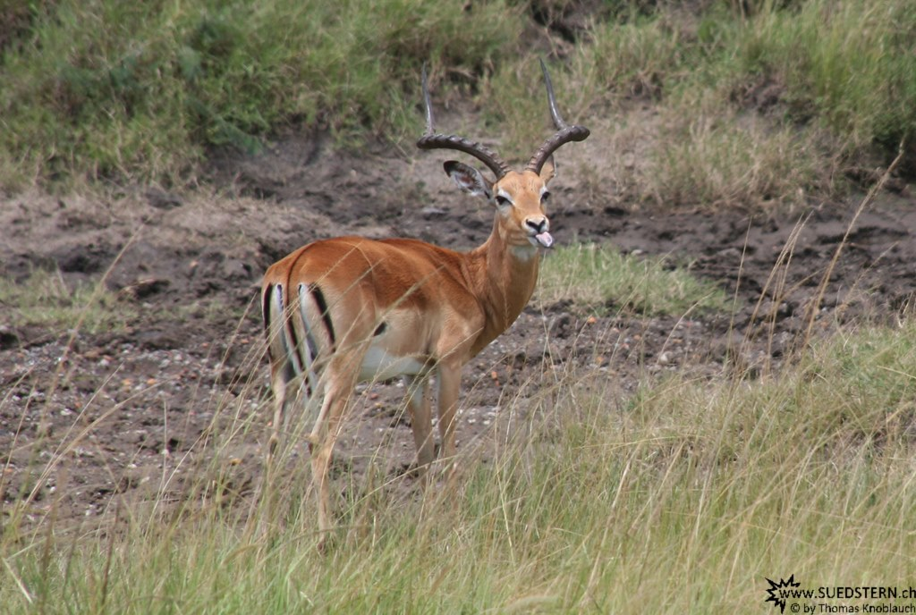 IMG 8077-Kenya, gazelle is showing us their tongue, Masai Mara